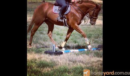 Potential plus TB gelding  on HorseYard.com.au
