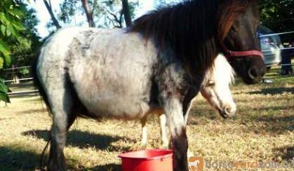 mini mare shetland blue roan mare on HorseYard.com.au