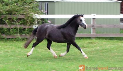 Beautiful Quiet 2yo Welsh Sec A Filly on HorseYard.com.au