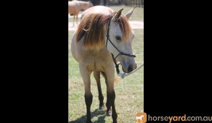 Buckskin Filly on HorseYard.com.au