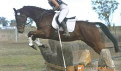 Lovely Gelding on HorseYard.com.au