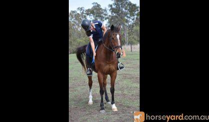 """BOOTS"" newcomer OTT hunter on HorseYard.com.au"