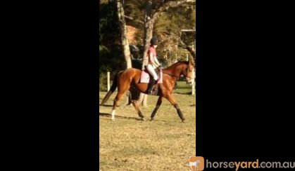 Lovely 16yo TB mare for sale on HorseYard.com.au