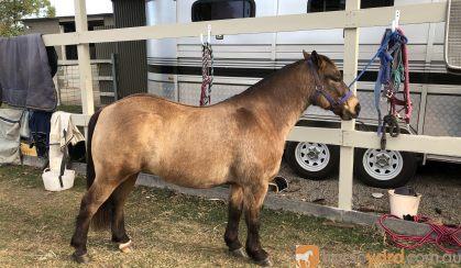 Gymkhana pony on HorseYard.com.au