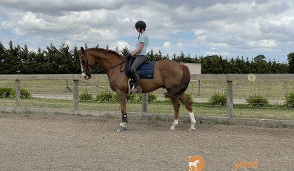 Flashy 8yo gelding  on HorseYard.com.au