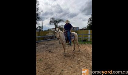 Project qh palomino gelding  on HorseYard.com.au
