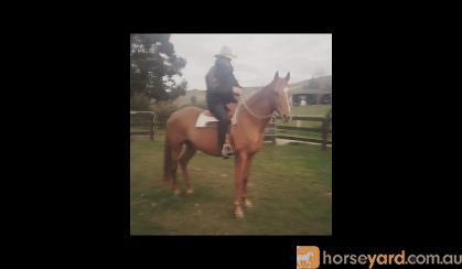 *Beautiful Quarter Horse Broodmare or Light Riding*  on HorseYard.com.au