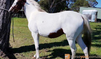 Pinto filly on HorseYard.com.au