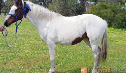 filly on HorseYard.com.au