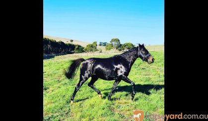 Breeding, Show, or riding prospect on HorseYard.com.au