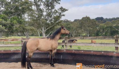7yo Bay Dun Quarter horse x TB gelding on HorseYard.com.au