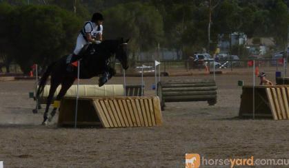 Thoroughbred Gelding on HorseYard.com.au