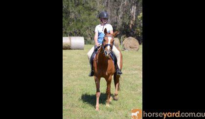 ASH gelding - 9yr old on HorseYard.com.au