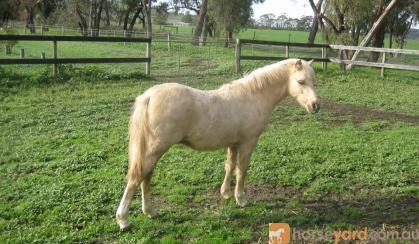 Welsh Mountain Colt on HorseYard.com.au