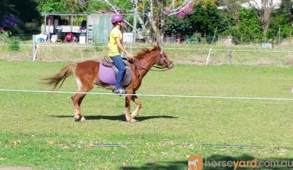 beautiful Welsh / Australina pony gelding on HorseYard.com.au