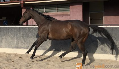 Show jumper on HorseYard.com.au