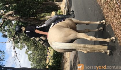 Stunning Palamino Warmblood Gentlemen  on HorseYard.com.au