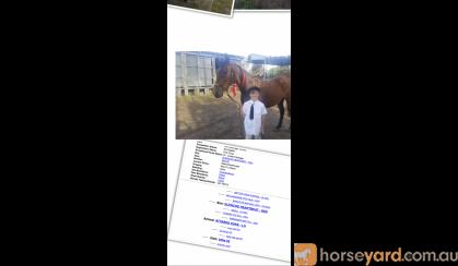 ASH Gelding on HorseYard.com.au