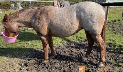 Red Roan Broodie on HorseYard.com.au