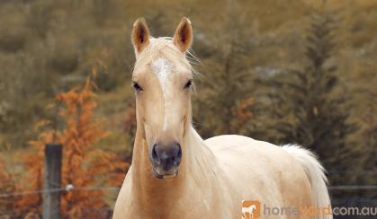 Palomino ASH 3yo on HorseYard.com.au