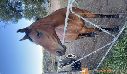 ASH mare on HorseYard.com.au