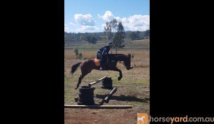 Well bred, solid 16.1, 7yo bay TB mare.  on HorseYard.com.au