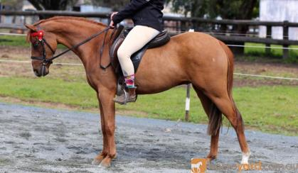 :Heartbreaking Decision To Sell This Lovely Pony on HorseYard.com.au