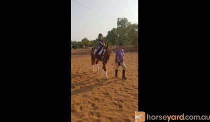 Ride or Breed TB Mare on HorseYard.com.au