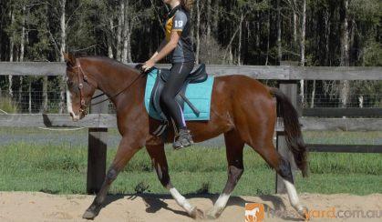 Rising 4yo ASH x QH - Kobe on HorseYard.com.au