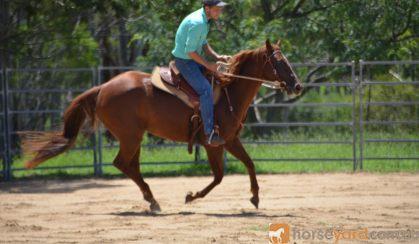Quarter Horse Mare - Phoenix on HorseYard.com.au