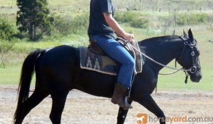 Quiet Jet Black QH Gelding + VIDEO+ on HorseYard.com.au