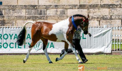 Arabec Azaar on HorseYard.com.au