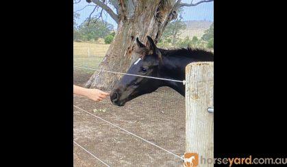 Black WB Colt! Urgent! on HorseYard.com.au