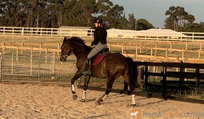 17hh 14yo TB Gelding on HorseYard.com.au