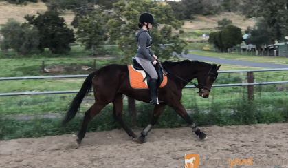 15.2h Bay TB mare on HorseYard.com.au