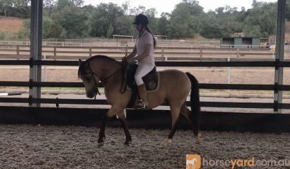 Beautiful Buckskin Pony on HorseYard.com.au