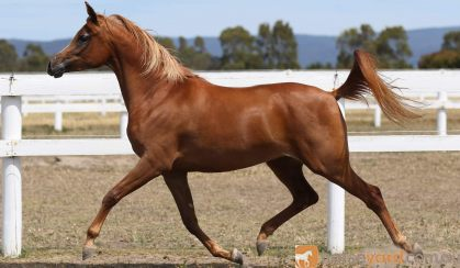 Arabian Filly For sale on HorseYard.com.au