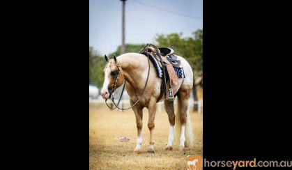Appaloosa 2020 Foal Crop  on HorseYard.com.au