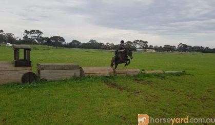 Flashy Riding Pony Gelding  on HorseYard.com.au