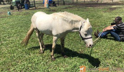 White Gelding Pony  on HorseYard.com.au