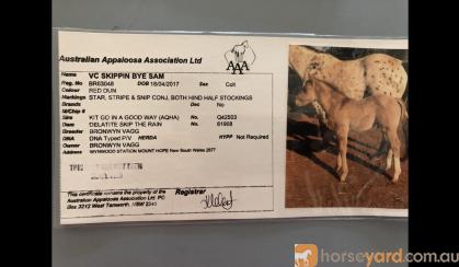 Appaloosa x QH red dun gelding on HorseYard.com.au