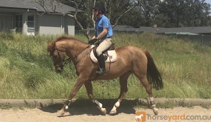 ULTIMATE SCHOOLMASTER on HorseYard.com.au