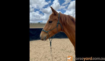 Potential Plus - Stockhorse x Warmblood TB on HorseYard.com.au