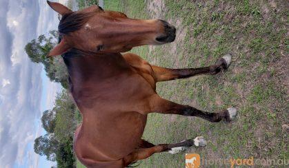 standard on HorseYard.com.au