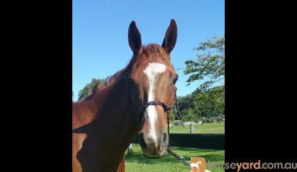 Arabian warmblood gelding on HorseYard.com.au