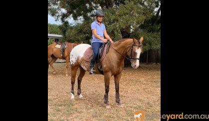 Fun, ready to ride alrounder on HorseYard.com.au