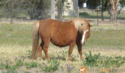 Miniature Horse Mare on HorseYard.com.au