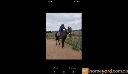 Ex trotter on HorseYard.com.au