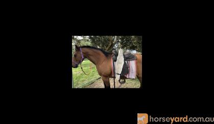 Registered mare & gelding for sale on HorseYard.com.au