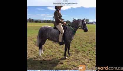 Quality small Hunter pony on HorseYard.com.au